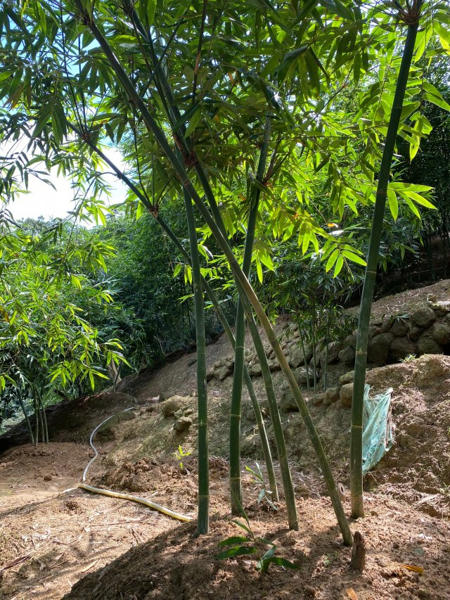 綠竹筍喜高溫多溼,主要栽培於平地與海拔500公尺以下坡度不大的山坡、溪畔等地。(攝影/記者林紫馨)