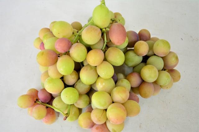 「路葡萄隧道果園」開發的新種葡萄——蜜紅葡萄,口感香甜,果肉細緻柔軟。(攝影/賴瑞)
