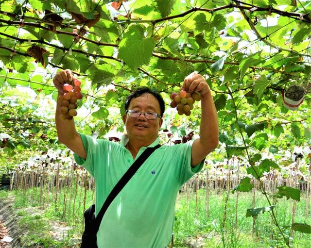 游益裕每到了葡萄採收期,總是忙著招待來自各地的採果遊客。(攝影/賴瑞)