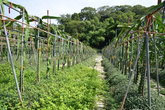 卓越農場在種植火龍果的園區栽種了淺根型的植草。(攝影/賴瑞)
