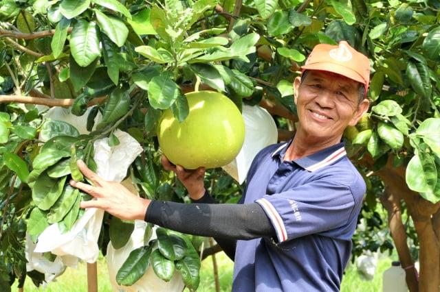 個頭碩大的帝王柚風味最特殊,柚果會散發濃郁的香氣,有香水柚的美稱。(攝影/賴瑞)