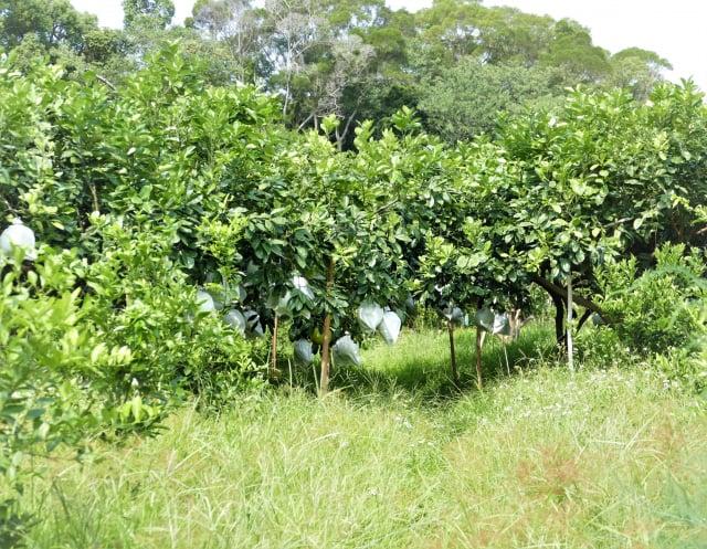 農場採用人工除草留下雜草的根系,讓土質越來越鬆軟,土中的微生物越來越多,尤其是蚯蚓生長得最好,果園裡不必再使用大量的肥料。(攝影/賴瑞)