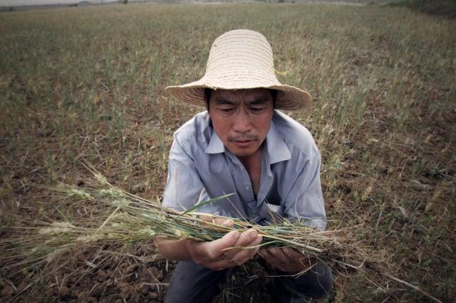 中共當局下令各地「糧食產量只增不減」,被輿論質疑中國或陷入糧食危機。圖為武漢一農民捧著乾枯的莊稼發愁。(Getty Images)