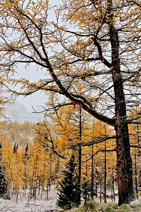 高山積雪,松林染黃。(Sunny/大紀元)
