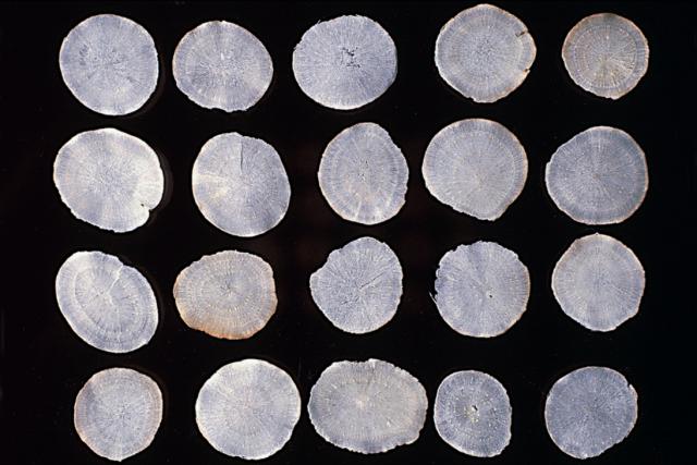 3.白芍:粉性足,掛手,形成層環紋明顯。(張賢哲教授《道地藥材圖鑑》提供)