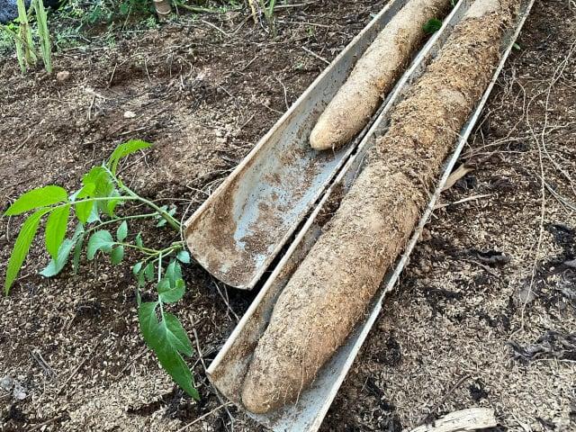 農民劉勝旋種植的寸薯山藥。(臺北市農會提供)