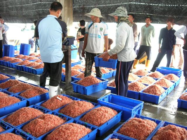 中國不肖廠商以赤尾青蝦冒充東港的櫻花蝦販售,東港區漁會呼籲消費者不要上當。(東港區漁會提供)