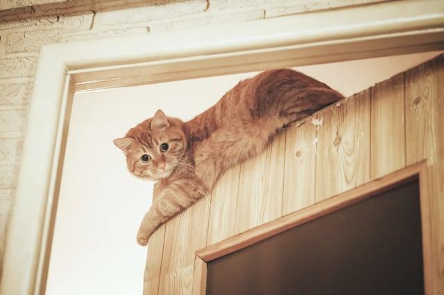 看到貓咪爬到門上面,別擔心,那是牠的樂趣。(Shutterstock)