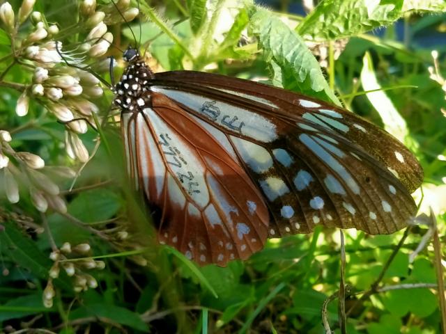 黎進發捕獲的大青斑蝶有日本的標記代號。(黎進發提供)