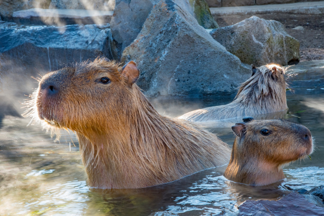圖為伊豆仙人掌公園的水豚在泡湯。(Shutterstock)