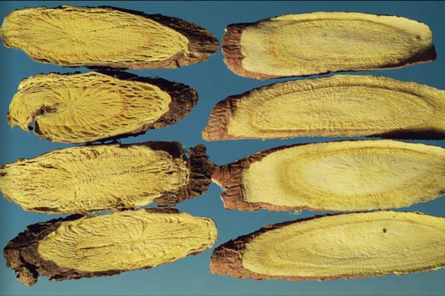 甘草飲片:左為野生,右為家種,有放射狀裂隙。(張賢哲教授《道地藥材圖鑑》提供)