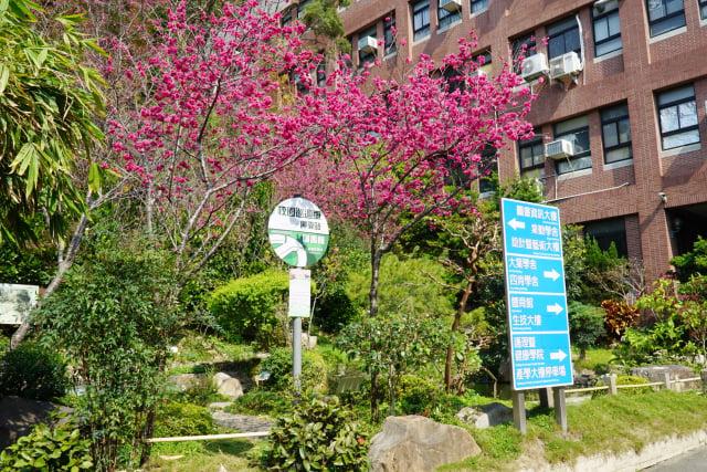 大葉大學的櫻花與綠色校園形成獨特美景 。(大葉大學提供)