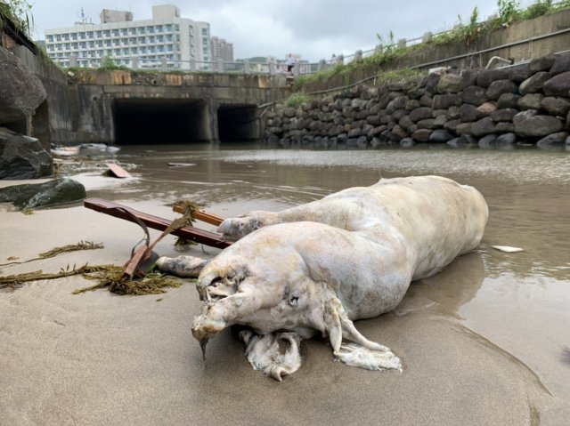 4月4日海巡署在新北市萬里區龜吼平臺岸際,發現1隻死亡豬隻,於5日檢出非洲豬瘟陽性。(中央社)
