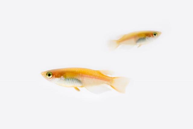 青鱂魚。(Shutterstock)
