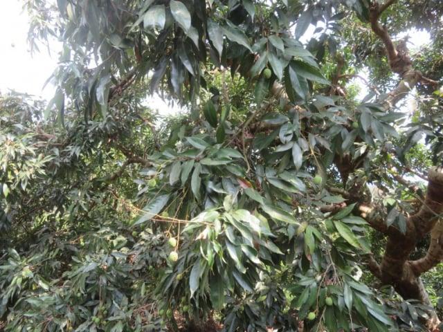 嘉義市荔枝今年持續受少雨乾旱及近期氣溫飆升影響,導致落果嚴重,著果率低。