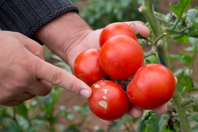 研究發現番茄具備警告主植物,遭到害蟲攻擊的能力。(Shutterstock)