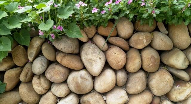 這是附近已遷走多年的鄰家留下仍算完整的石牆,可看出工法自然又嚴謹的一面。(農本木提供)