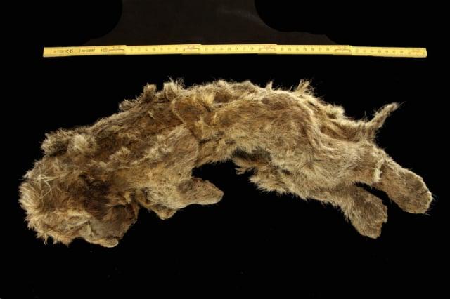 西伯利亞出土萬年冰封穴獅,皮膚軟組織保存良好。(洛夫·達倫教授提供)