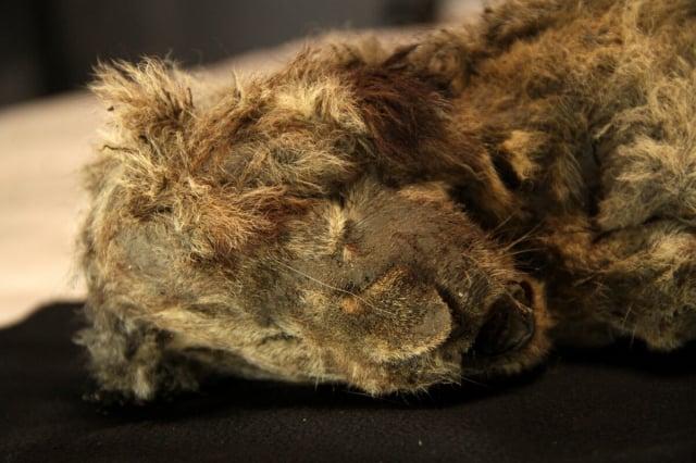 專家稱,這隻幼獅是迄今為止發現的保存最完好的冰河時期動物遺骸。(洛夫·達倫教授提供)