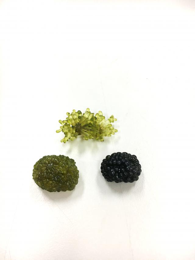 法囊藻以不同方式養殖會呈現不同外觀及顏色。上為室外固定式;左下為室外滾動式;右下則是室內滾動式。(農委會水產試驗所提供)