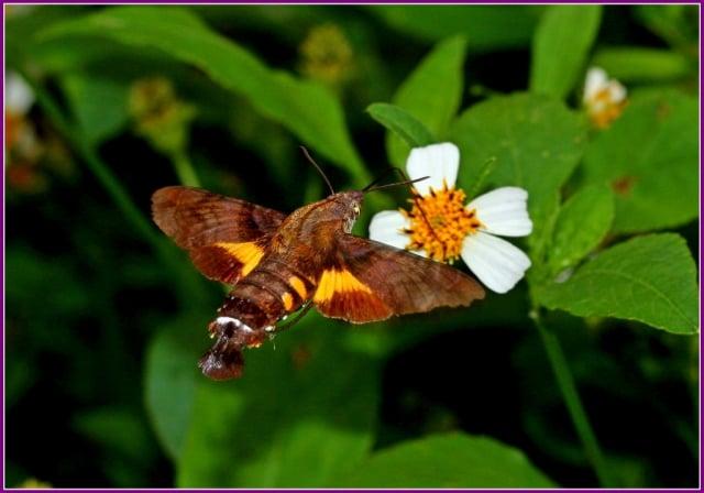 翅面黑褐色,腹側黑斑較黃斑發達,腹背第三節上有一對黑色三角斑。(攝影/鄭清海)