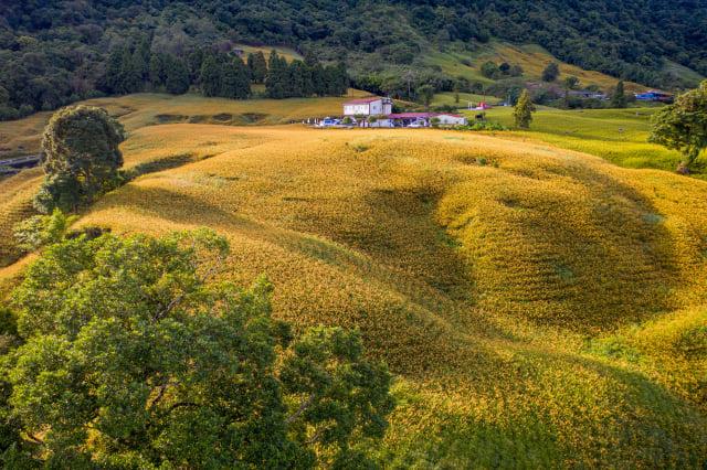 花蓮縣赤科山金針種植面積達300公頃。(Airbnb提供)