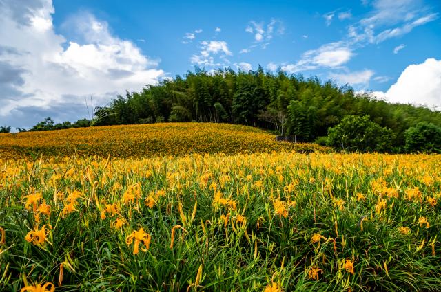 今年赤科山金針共留花65公頃,花季從8/7起至10/14為止。(Airbnb提供)