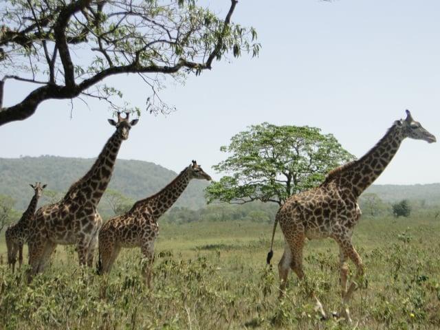 國家公園野生動物保護區的長頸鹿——坦尚尼亞。(謝明景提供)