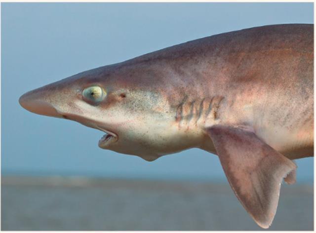 星鯊(smooth-hound shark)。(123RF)