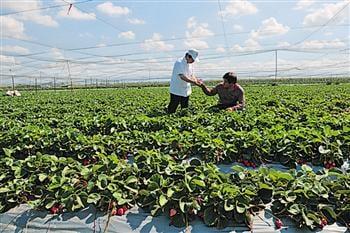 福樂屋草莓食材來自於大湖網室栽培。(福樂屋提供)