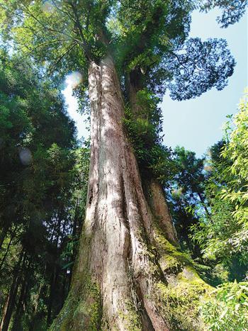 漫遊阿里山,享受千年巨木散發的芬多精。(攝影/楊宗鴻)
