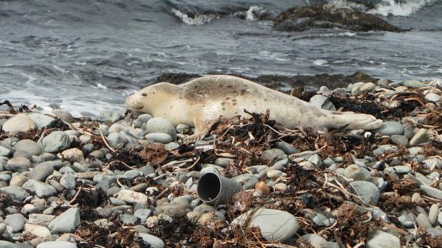 斑海豹在獨島的東島卵石海灘上現身。(獨島管理事務所提供)