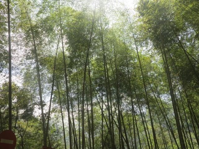 來到竹山鎮,到處都可看到脆綠的孟宗竹林。(攝影/鄧玫玲)
