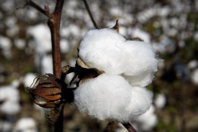 美國棉花種植面積減少近兩成,商品行情大師加特曼(Dennis Gartman)看漲棉花期貨價格。(Getty Images)