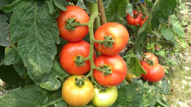 陳龍基與吳家晴種的牛番茄賣相很棒。(吳家晴提供)