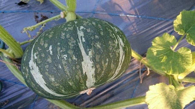 「栗子南瓜」是耐儲存的食材,而且無毒栽種健康又好吃。(吳家晴提供)