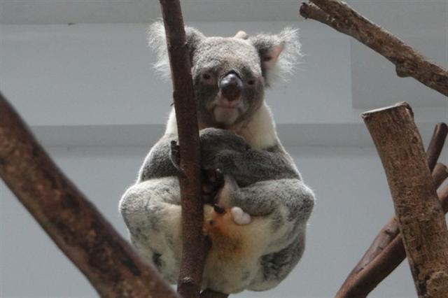 台北市立動物園20日表示,館內人氣動物無尾熊,其實有尾巴,只是被毛蓋住,而且是有袋類動物而不是熊。從「Q比」的坐姿可以清楚的看到尾巴,盤起的右腳下方是「Q比」的排泄物,排泄物下方的小黑圓點就是尾巴。(台北市立動物園提供)