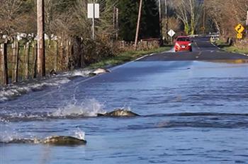 為返鄉產子,不惜「搏命」!鮭魚逆流橫穿馬路
