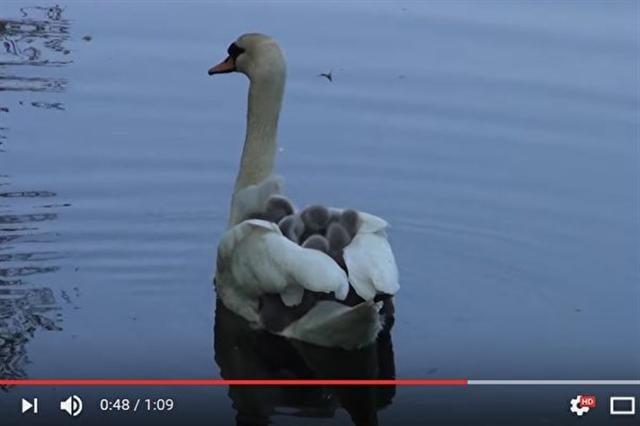 網上視頻顯示,天鵝媽媽讓孩子們鑽進牠的翅膀裡,坐著牠遊湖。(視頻擷圖)