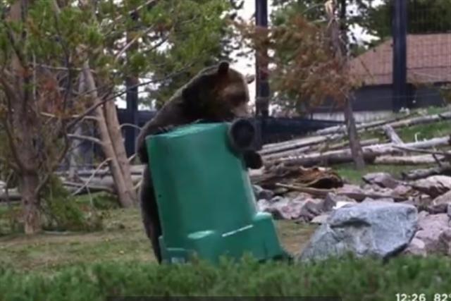 一隻熊正把垃圾箱翻過來掉過去。(影片截圖)