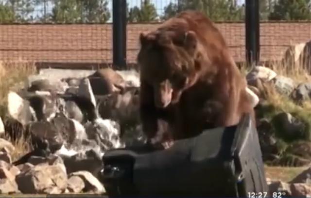 小熊柯蘭姆用「心肺復蘇法」 ——用前肢反覆按壓,直到垃圾桶的蓋子爆開。(影片截圖)
