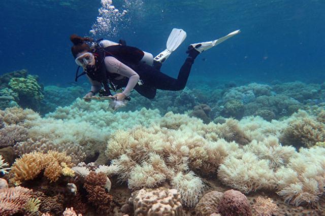 大堡礁價值高達560億澳幣,是促進澳洲生態系統和經濟的重要推手,「大到不能倒」。圖為大堡礁珊瑚礁白化現象。