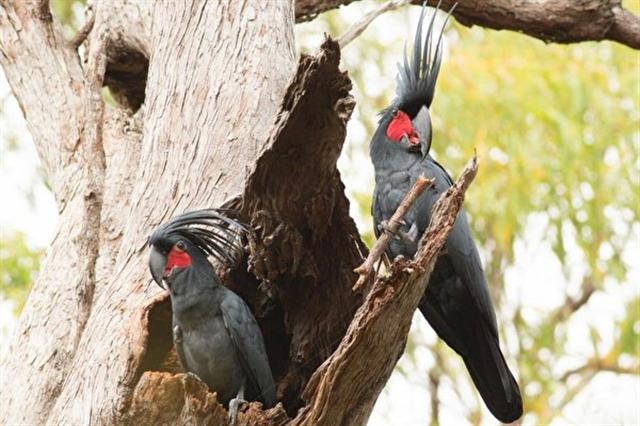 澳洲的棕榈凤头鹦鹉。(網絡圖片)