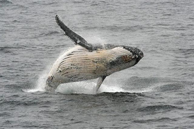 座頭鯨捕食磷蝦和小魚,通常不會攻擊人類。(EITAN ABRAMOVICH/AFP/Getty Images)