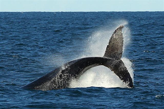 座頭鯨成年可以長到十餘米長,體型龐大。(Cameron Spencer/Getty Images)