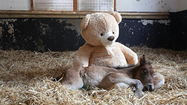 「微風」枕著毛茸茸的熊腿入睡。(影片截圖)