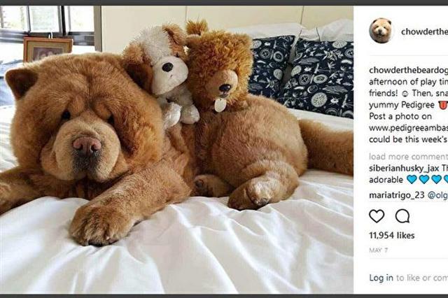 菲律賓馬尼拉有一隻3歲小狗名叫Chowder。當看見Chowder時,大多數人的第一反應是:這是一隻小熊崽。(Instagram截圖)