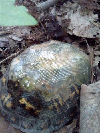 幾年後,獸醫再次發現背著玻璃纖維龜殼的烏龜,倍覺驚喜。( Hocking Hills Animal Clinic臉書)