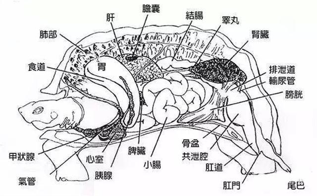 烏龜的身體結構。(新唐人電視台)