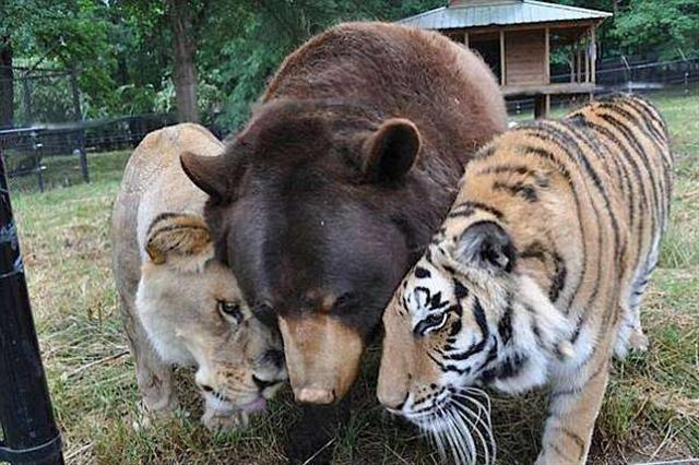 「BLT」(「Bear, Lion, Tiger」簡稱)三兄弟聚首的溫情一幕,在粉絲心中成為永恆。(Noah's Ark Animal Sanctuary: home of the BLT/Facebook)